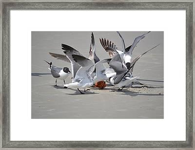 Food Fight - Gulls At The Beach Framed Print