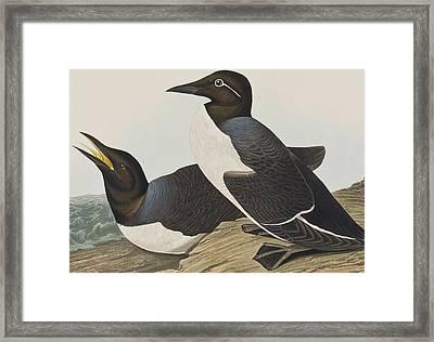 Foolish Guillemot Framed Print by John James Audubon