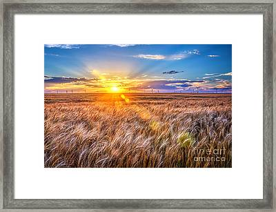 For Amber Waves Of Grain Framed Print