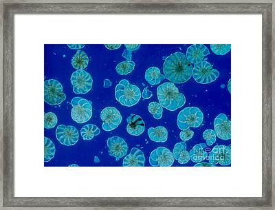 Foraminifera Framed Print by M. I. Walker