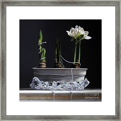 Forcing Amaryllis Framed Print by Larry Preston