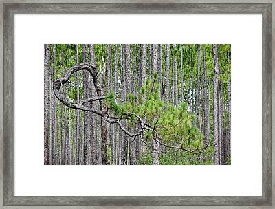 Forest Bonsai Pine Framed Print by rd Erickson