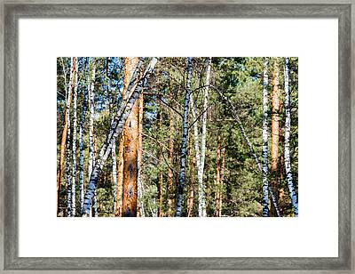 Forest, Full Of Birch And Pine Trees, Plays With Shadows  Framed Print by Sergey Orlov