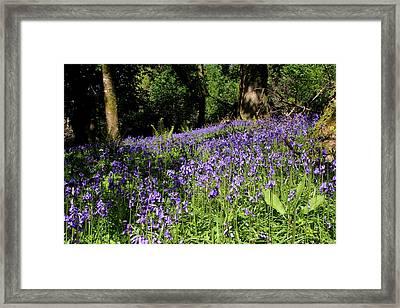 Forest Of Bluebells Framed Print