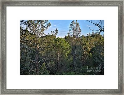 Forest Pine Trees At Sunset In Ludo Framed Print