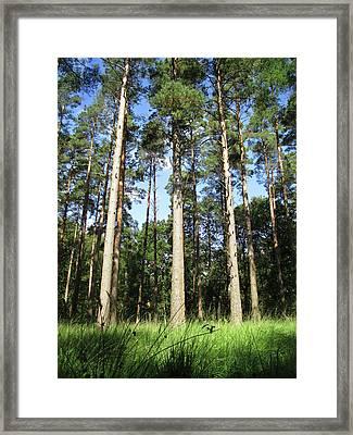 Forest Pines Framed Print