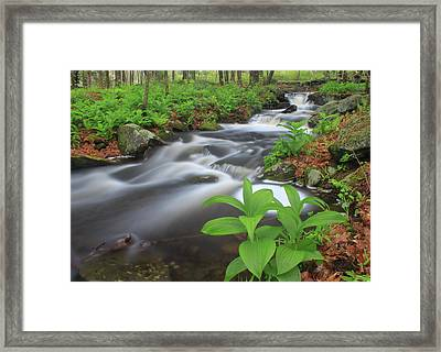 Forest Stream And False Hellabore In Spring Framed Print by John Burk