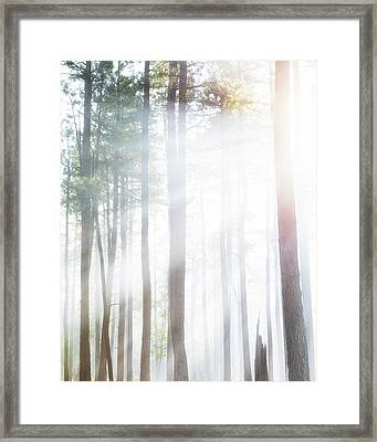 Forest Trees In Dense Fog With Sunlight Framed Print by Susan Schmitz