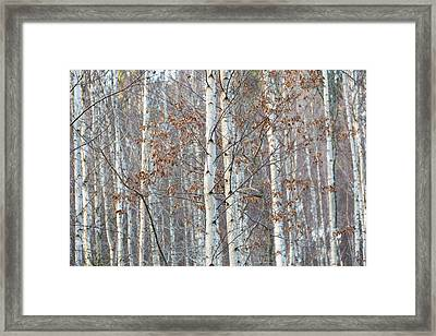 Forest With Birch Trees In December Framed Print