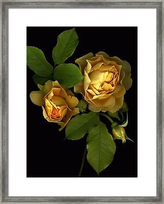 Forever Yellow Roses Framed Print by Deborah J Humphries