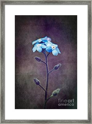 Forget Me Not 04 - S6ct7b Framed Print