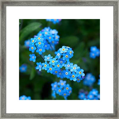 Forget -me-not 5 Framed Print by Jouko Lehto