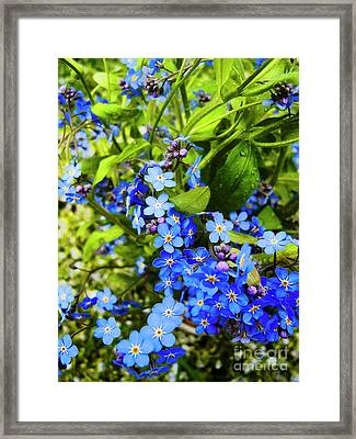 Forget-me-not Flowers Framed Print by Nat Air Craft