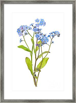 Forget-me-not Flowers On White Framed Print by Elena Elisseeva