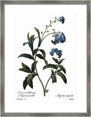 Forget-me-not Framed Print by Granger