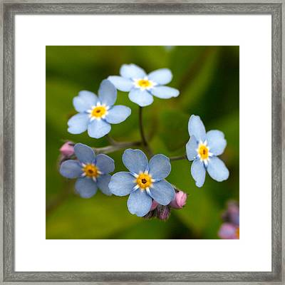 Forget-me-not Framed Print by Jouko Lehto