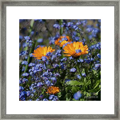 Forget-me-not Marigold Framed Print by Terri Waters