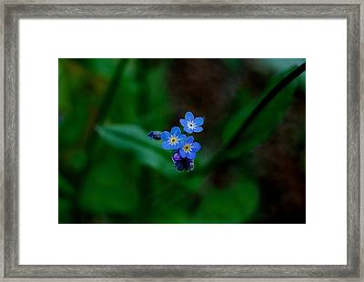 Forget Me Not  Framed Print by Marilynne Bull