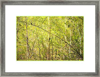 Fork Tailed Drongo Framed Print by Sonali Gangane