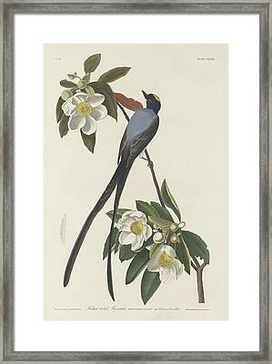 Forked-tail Flycatcher Framed Print