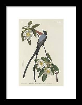 Flycatcher Framed Prints