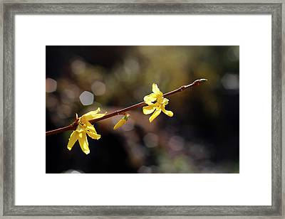 Framed Print featuring the photograph Forsythia Flowers by Helga Novelli