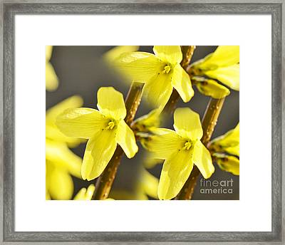Forsythia Three Framed Print