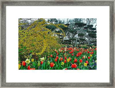 Framed Print featuring the photograph Forsythia Tulips And Daffadils by Diana Mary Sharpton