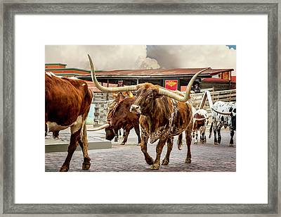 Fort Worth Cattle Drive Framed Print by Kelley King