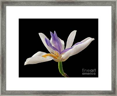 Fortnight Lily On Black Framed Print