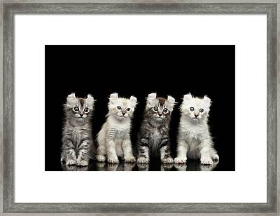 Four American Curl Kittens With Twisted Ears Isolated Black Background Framed Print by Sergey Taran