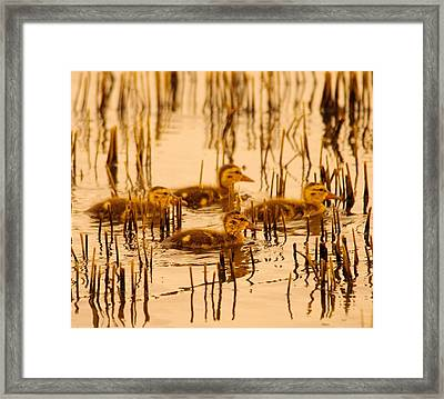 Four Baby Duckies Framed Print by Jeff Swan