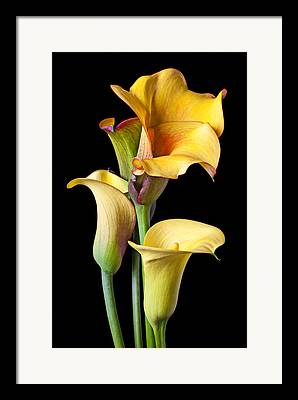 Calla Lily Framed Prints