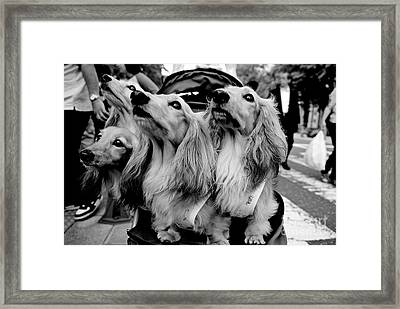 Four Dogs In A Stroller Framed Print