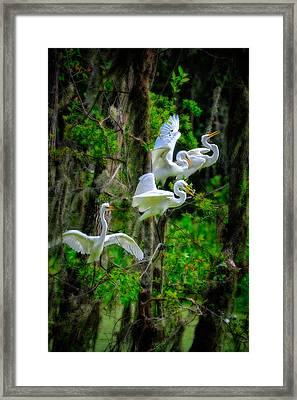 Framed Print featuring the photograph Four Egrets by Harry Spitz