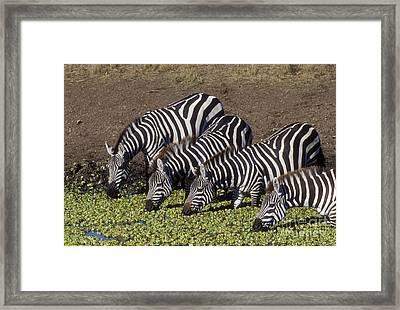 Four For Lunch - Zebras Framed Print by Sandra Bronstein
