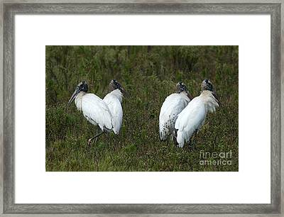 Four Juvenile Woodstorks Framed Print by Christiane Schulze Art And Photography