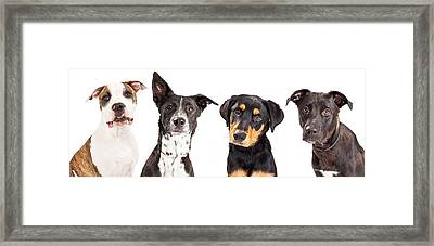 Four Mixed Breed Dogs Closeup Framed Print by Susan Schmitz