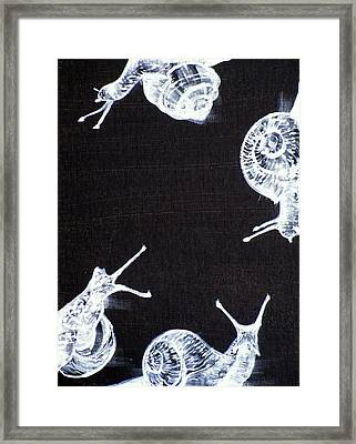 Four Snails Framed Print by Fabrizio Cassetta