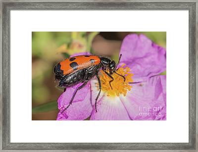 Four-spotted Blister Beetle - Mylabris Quadripunctata Framed Print by Jivko Nakev