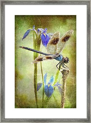 Four Spotted Pennant And Louisiana Irises Framed Print
