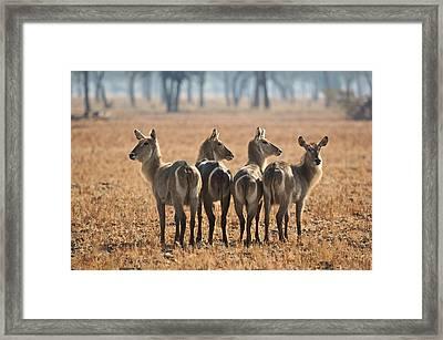 Four Waterbucks Framed Print by Johan Elzenga
