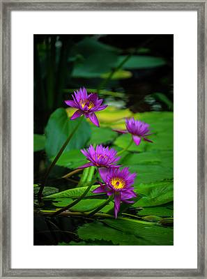 Four Waterlilies Framed Print by Garry Gay