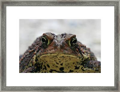 Fowler's Toad #3 Framed Print