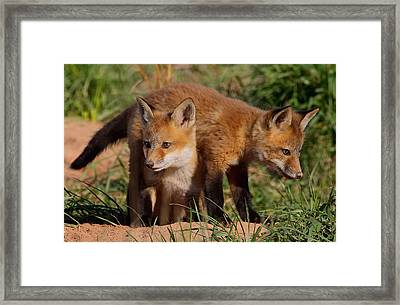 Fox Cubs Playing Framed Print by William Jobes