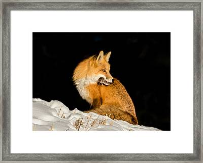 Fox In Snow #2 Framed Print by Mindy Musick King