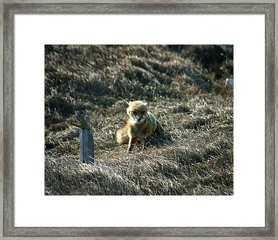 Fox In The Wind Framed Print