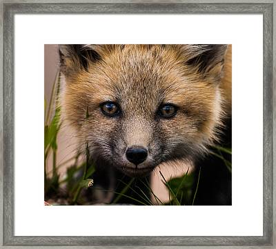 Fox Kit #5 Up Close And Curious Framed Print by Mindy Musick King
