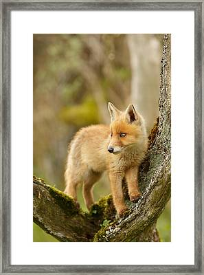 Fox Kit In A Tree Framed Print