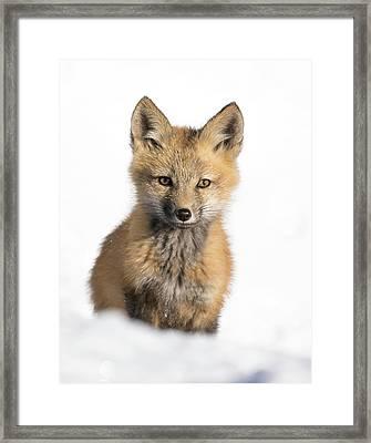 Fox Kit In Spring Snow Framed Print